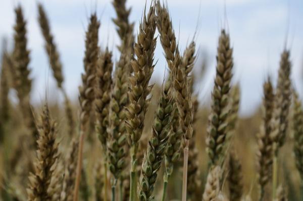 пшеница, зерно, кубань, сельское хозяйство(2021) Фото: пресс-служба администрации Краснодарского края