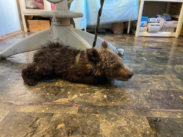 медвежонок(2021) Фото: минэкологии Челябинской области