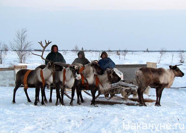 ненцы оленья упряжка нарты Фото: Накануне.ru