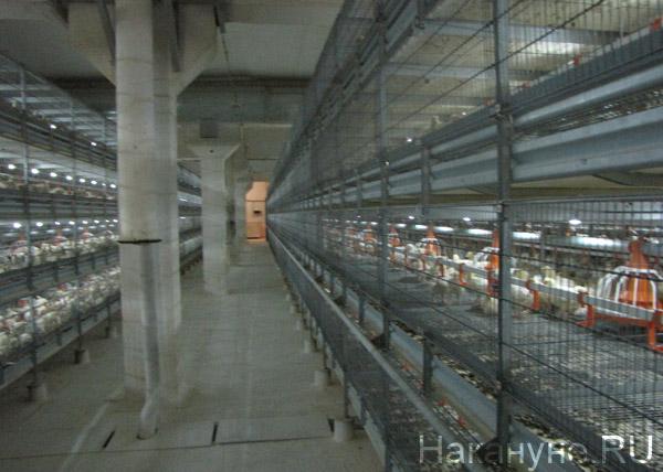 птицефабрика Рефтинская|Фото: Накануне.RU