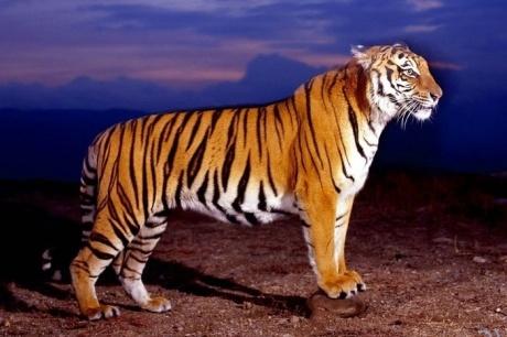 амурский тигр|Фото: МВД