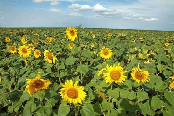 подсолнухи поле|Фото: gubernator74.ru