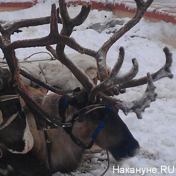 Салехард, олени в упряжи|Фото: Накануне.RU