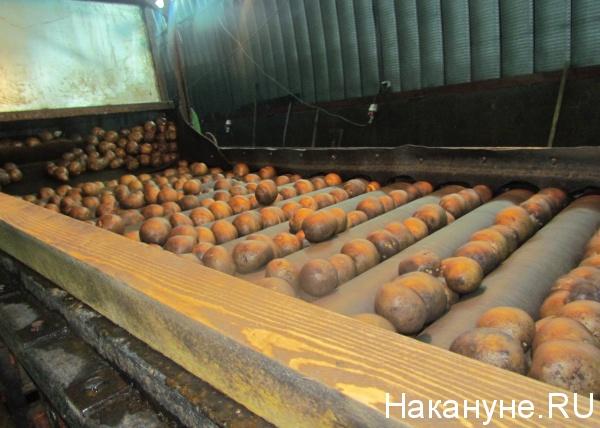 овощехранилище, картофель|Фото: Накануне.RU