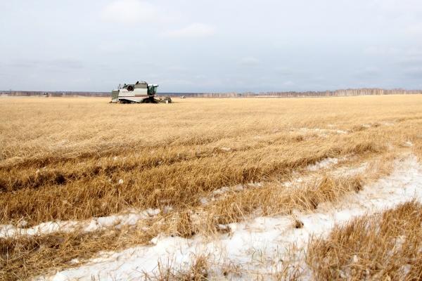 поле снег пшеница Зауралье|Фото: пресс-служба губернатора Курганской области