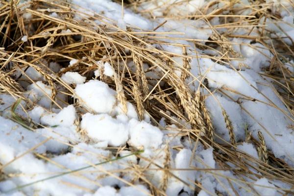 поле снег пшеница Зауралье Фото: пресс-служба губернатора Курганской области