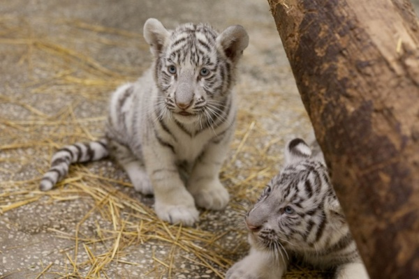тигренок, тигр, животные|Фото: Екатеринбургский зоопарк