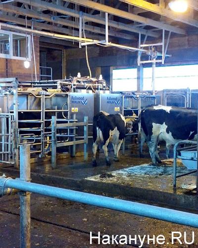 "СК ""Колос"", ферма, коровы Фото: Накануне.RU"