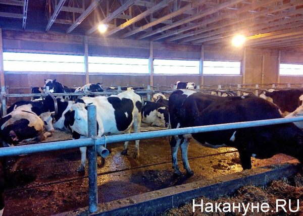 "СК ""Колос"", ферма, коровы|Фото: Накануне.RU"