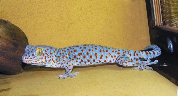Геккон токи, террариум, животные, ящерица|Фото: Екатеринбургский зоопарк