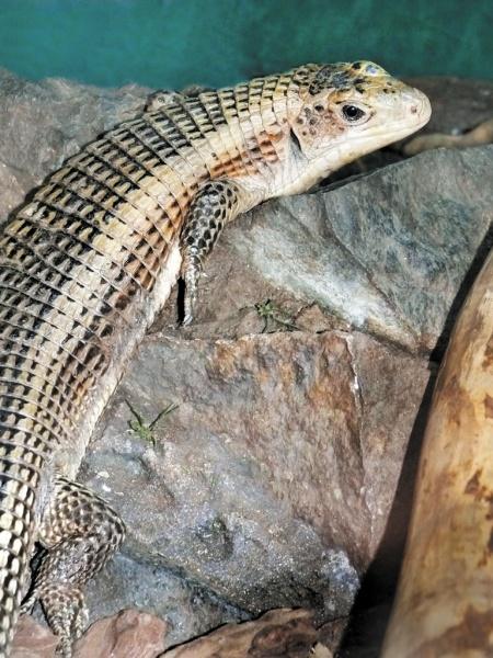Большой геррозавр, ящерица, террариум|Фото: Екатеринбургский зоопарк