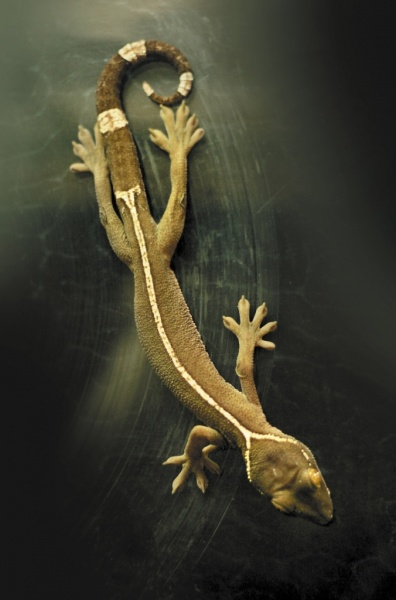 Полосатый геккон, ящерица, террариум|Фото: Екатеринбургский зоопарк
