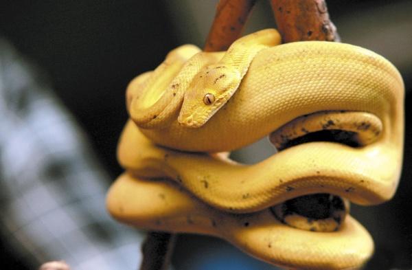 Садовый удав, рептилия, змея|Фото: Екатеринбургский зоопарк