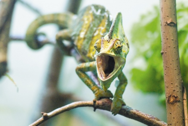 Хамелеон, ящерица, рептилия|Фото: Екатеринбургский зоопарк