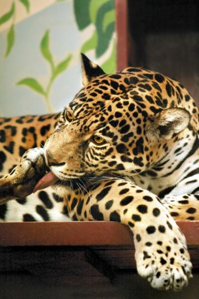 ягуар, животные Фото: Екатеринбургский зоопарк