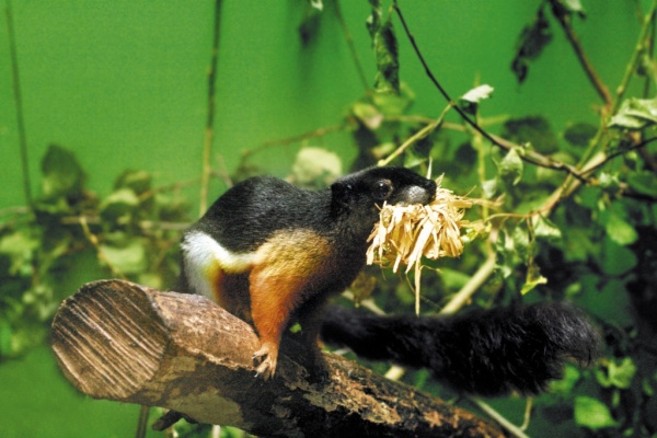 Белка Превоста, тропические белки, зоопарк|Фото: Екатеринбургский зоопарк