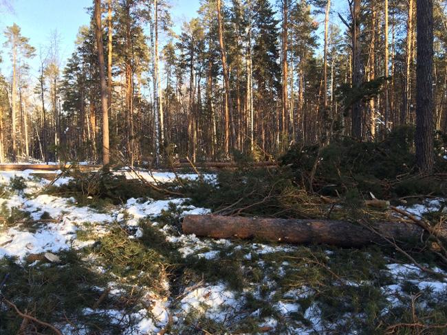 Незаконная вырубка леса Фото: пресс-служба прокуратуры Тюменской области
