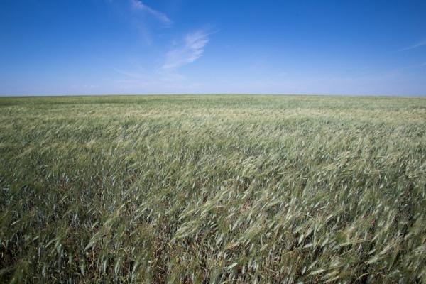 поле пшеница Фото: gubernator74.ru
