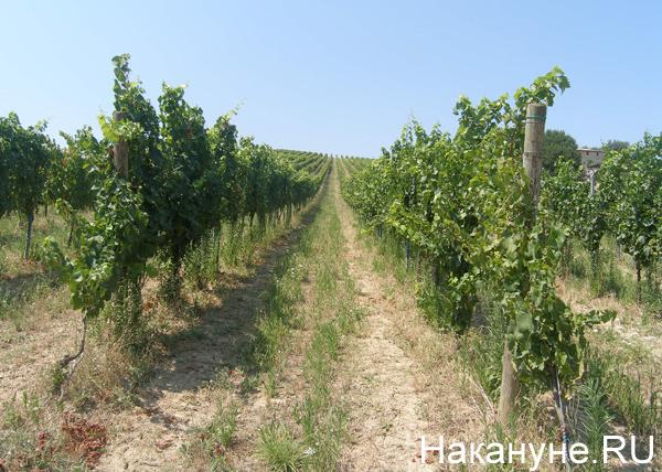 виноградники, Италия|Фото: Накануне.RU