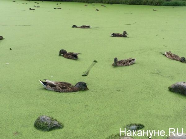 утки, птицы, городской пруд|Фото: Накануне.RU