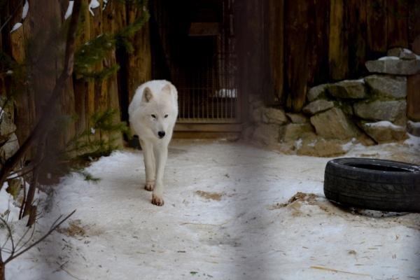 арктический волк|Фото: Екатеринбургский зоопарк