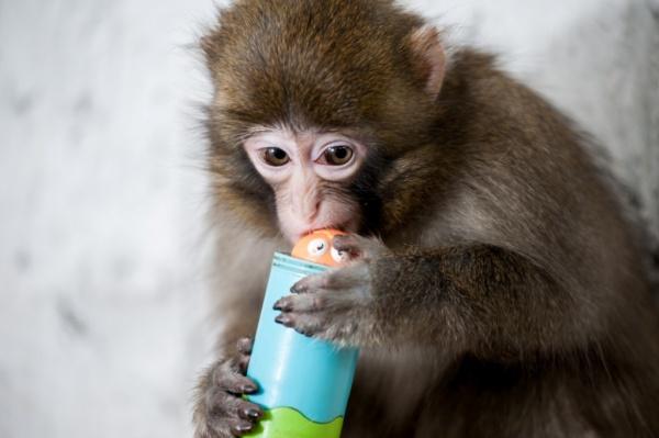 японский макак, макаки, обезьяна, примат|Фото: Екатеринбургский зоопарк