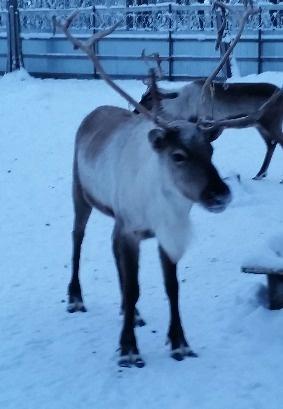 олень Гром|Фото: Уральская резиденция Деда Мороза