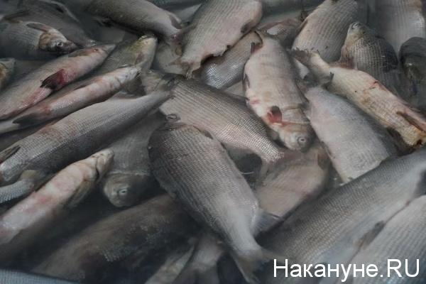 рыба|Фото: Накануне.RU