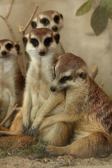 сурикат, животные, зверь|Фото: Екатеринбургский зоопарк