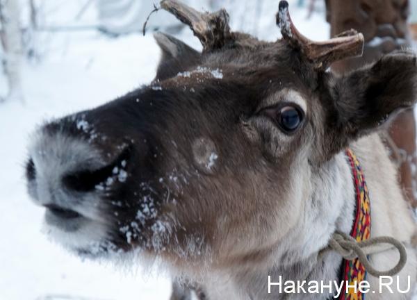 олень|Фото: