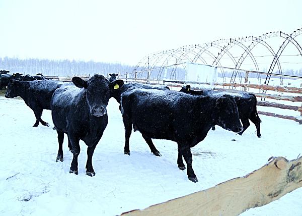 семейные животноводческие фермы в Половинском районе|Фото: kurganobl.ru