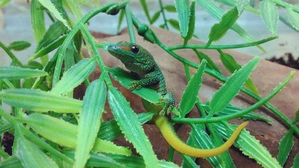 ящерица геккончик|Фото: Екатеринбургский зоопарк