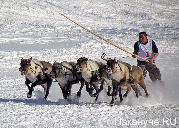 день оленевода гонки на оленьих упряжках|Фото: Накануне.ru