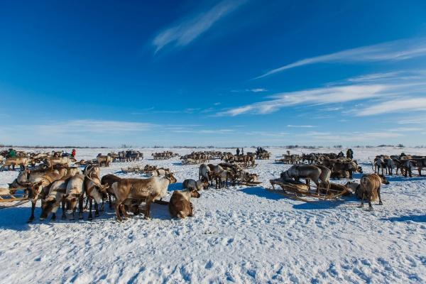 день оленевода|Фото: газпромнефть