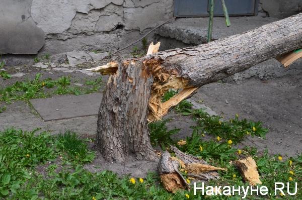поваленное дерево Курган, Орлова, 5 упавшее дерево|Фото:Накануне.RU