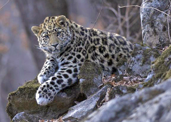 Дальневосточный Леопард|Фото: kremlin.ru